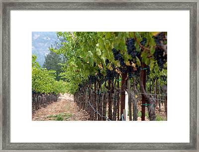 Napa Valley Vineyard-8 Framed Print