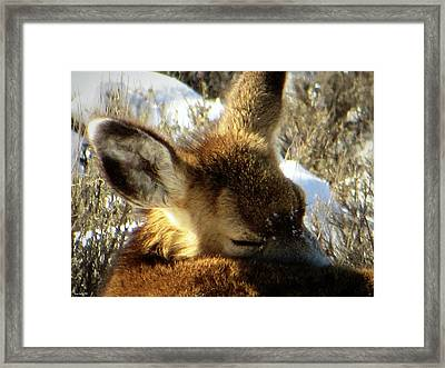 Napping Fawn Framed Print