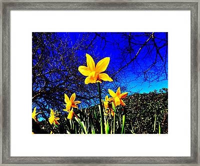 Narcissus Bloom Framed Print