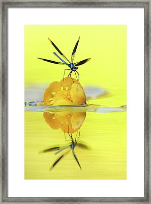 Narcissus - Damselfly Reflected In The River Framed Print