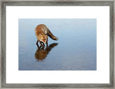Narcissus - Fox On The Ice Framed Print by Roeselien Raimond