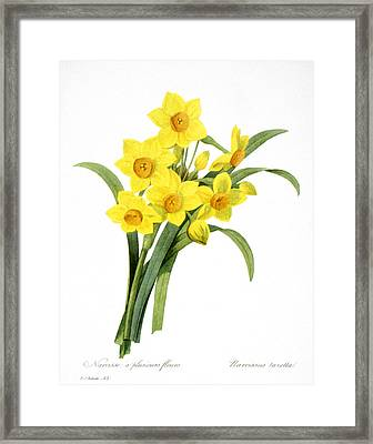 Narcissus (n. Tazetta) Framed Print by Granger