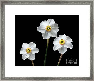 Narcissus 'poeticus' Framed Print