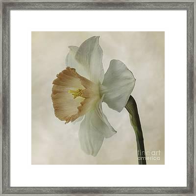 Narcissus 'precocius Framed Print