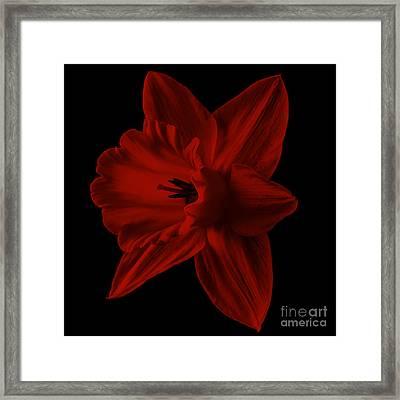 Narcissus Red Flower Square Framed Print