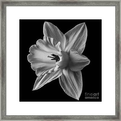 Narcissus Square Framed Print