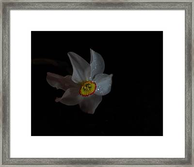 Framed Print featuring the photograph Narcissus by Susan Capuano