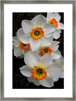 Narcissus Tazetta Framed Print