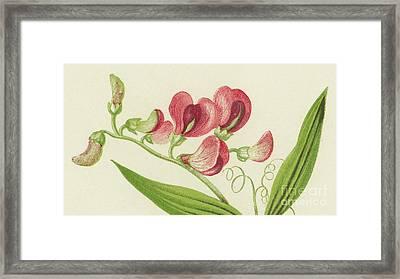 Narrow Leaved Everlasting Pea Framed Print