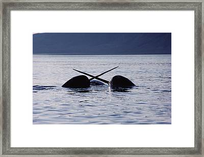 Narwhal Males Sparring Baffin Island Framed Print by Flip Nicklin