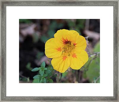 Nasturtium And Thyme Framed Print