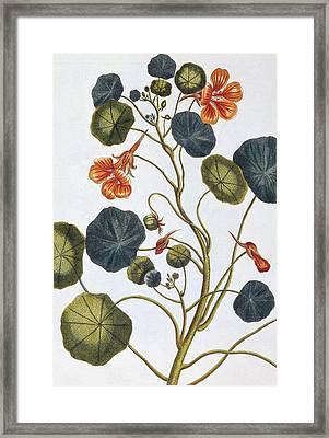 Nasturtium Framed Print