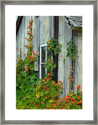 Nasturtiums On Cabin Wall Framed Print by Carla Parris