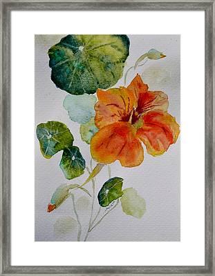 Nasturtiums Study 3 Framed Print by Beverley Harper Tinsley