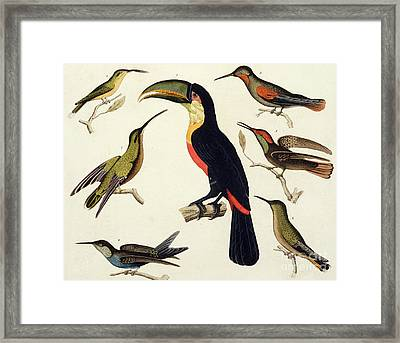 Native Birds, Including The Toucan From The Amazon, Brazil Framed Print