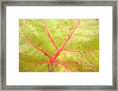 Nature Abstract Sea Grape Leaf Framed Print by Carol Groenen
