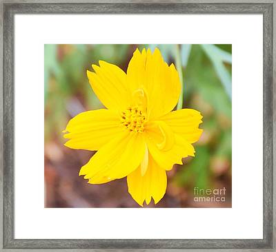Framed Print featuring the photograph Nature Colorful Flower Gifts - Yellow by Ray Shrewsberry