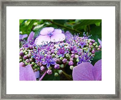 Nature Floral Art Prints Purple Hydrangea Flowers Baslee Troutman Framed Print by Baslee Troutman