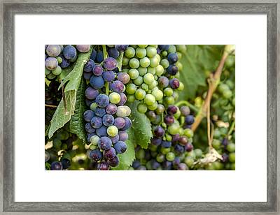 Natures Colors In Wine Grapes Framed Print