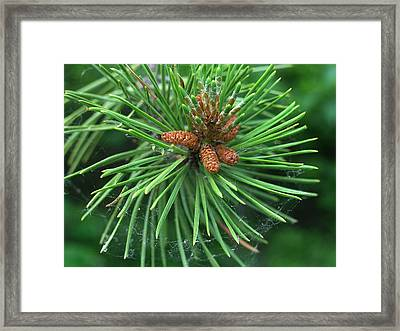 Nature's Delicate Web Of Resin At Needle's Birth Framed Print by Terrance DePietro