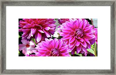 Natures Perfume Dahlias Red Tones Framed Print