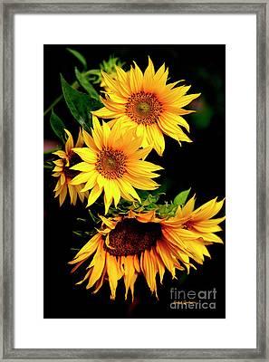 Natures Sunflower Bouquet Framed Print