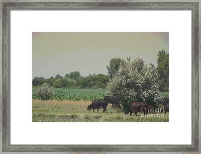 Nebraska Farm Life - Black Cows Grazing Framed Print