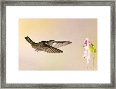 Framed Print featuring the photograph Nectar Seeking Missile by Gerry Sibell