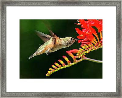 Nectar Time Framed Print by Sheldon Bilsker