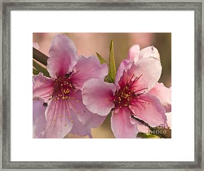 Nectarine Flowers Framed Print