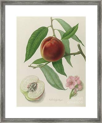 Nectarine Framed Print by William Hooker