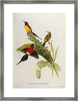 Nectarinia Gouldae Framed Print by John Gould