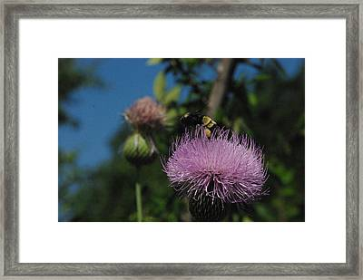 Nector Collector Framed Print by Robyn Stacey