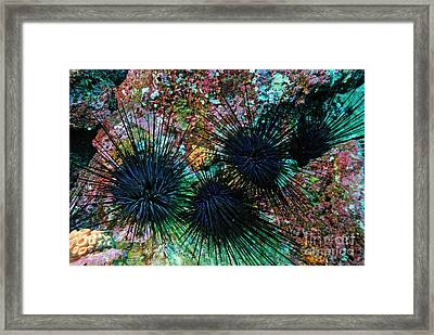 Needle Sea Urchin Framed Print by Sami Sarkis
