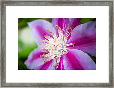 Nelly Moser Macro Framed Print by Shelby Young