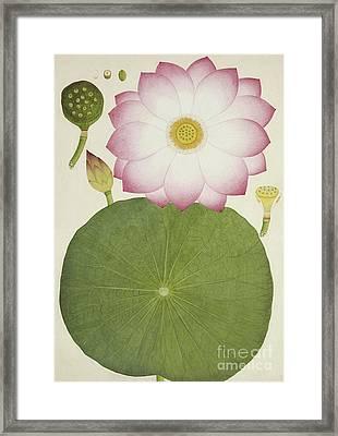 Nelumbium Speciosum Willd Framed Print by Indian School