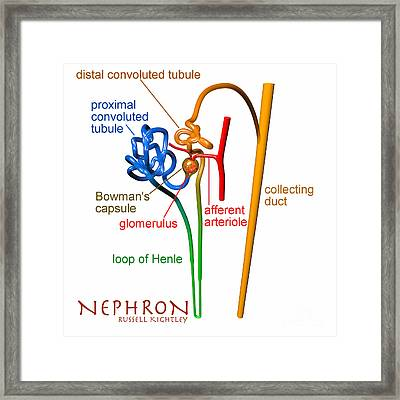 Nephron Labels #1 Framed Print by Russell Kightley