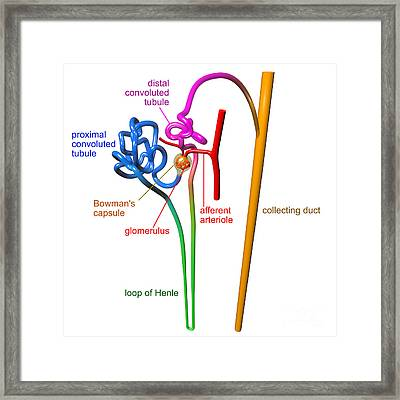 Nephron White With Labels Framed Print by Russell Kightley