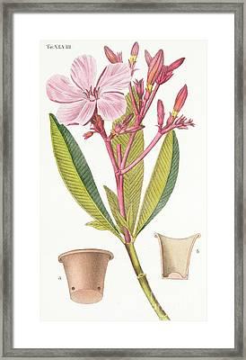 Nerium Oleander El Bubro Framed Print
