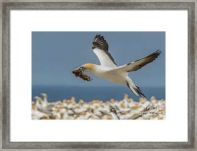 Nest Building Framed Print