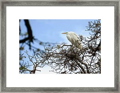 Nesting Egret Framed Print