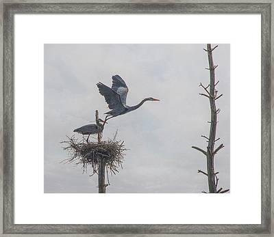 Nesting Great Blue Heron Framed Print