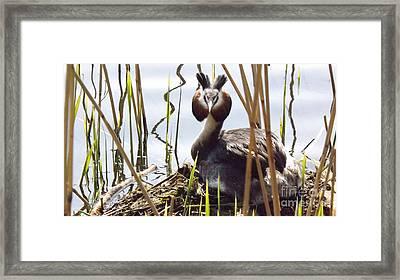 Nesting Grebe Framed Print