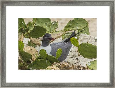 Framed Print featuring the photograph Nesting Laughing Gull by Paula Porterfield-Izzo