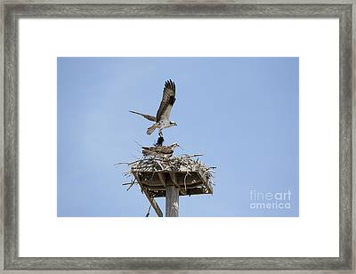 Nesting Osprey In New England Framed Print by Erin Paul Donovan