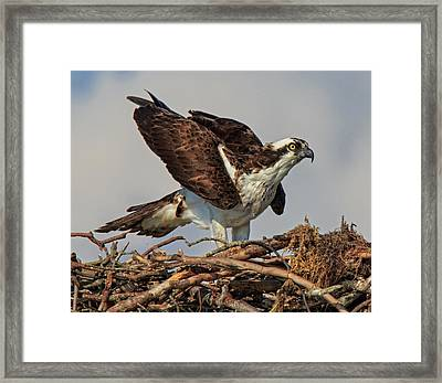 Framed Print featuring the photograph Nesting by Robert Pilkington