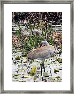 Nesting Sandhill Crane Pair Framed Print