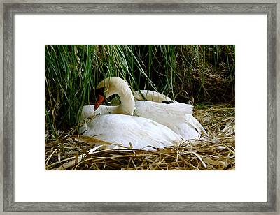 Nesting Swans Framed Print by Sonja Anderson
