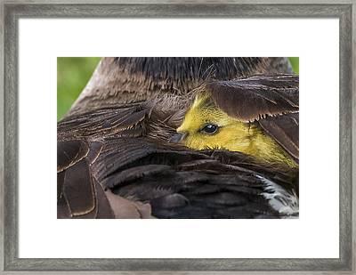 Nestled Gosling Framed Print