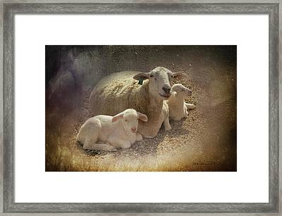 New Baby Lambs Framed Print by Lena Wilhite